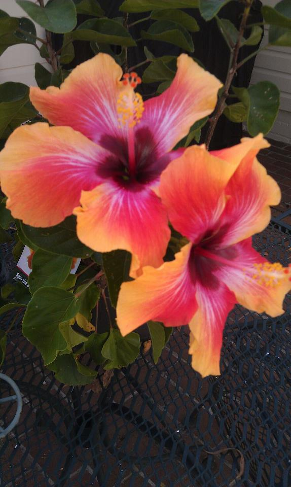 fancy hibiscus tm america's premier hibiscus web site, Beautiful flower