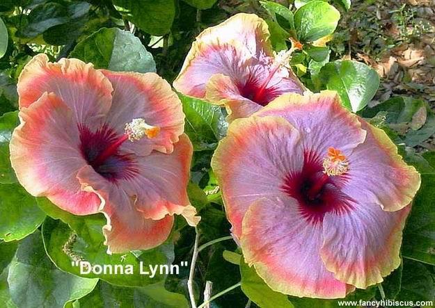 Donna Lynn Hibiscus