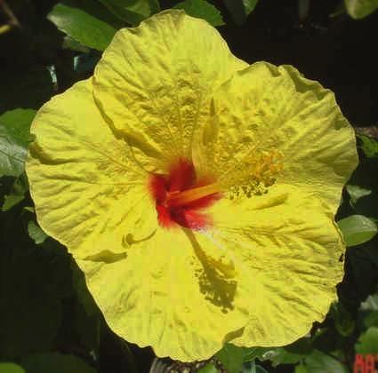 Fancy Hibiscus Tm Americas Premier Hibiscus Web Site