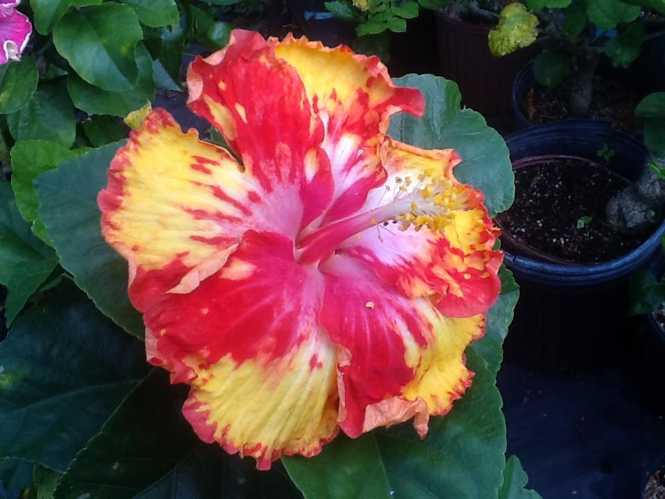 Fancy Hibiscus Online Catalog Over 250 Varieties