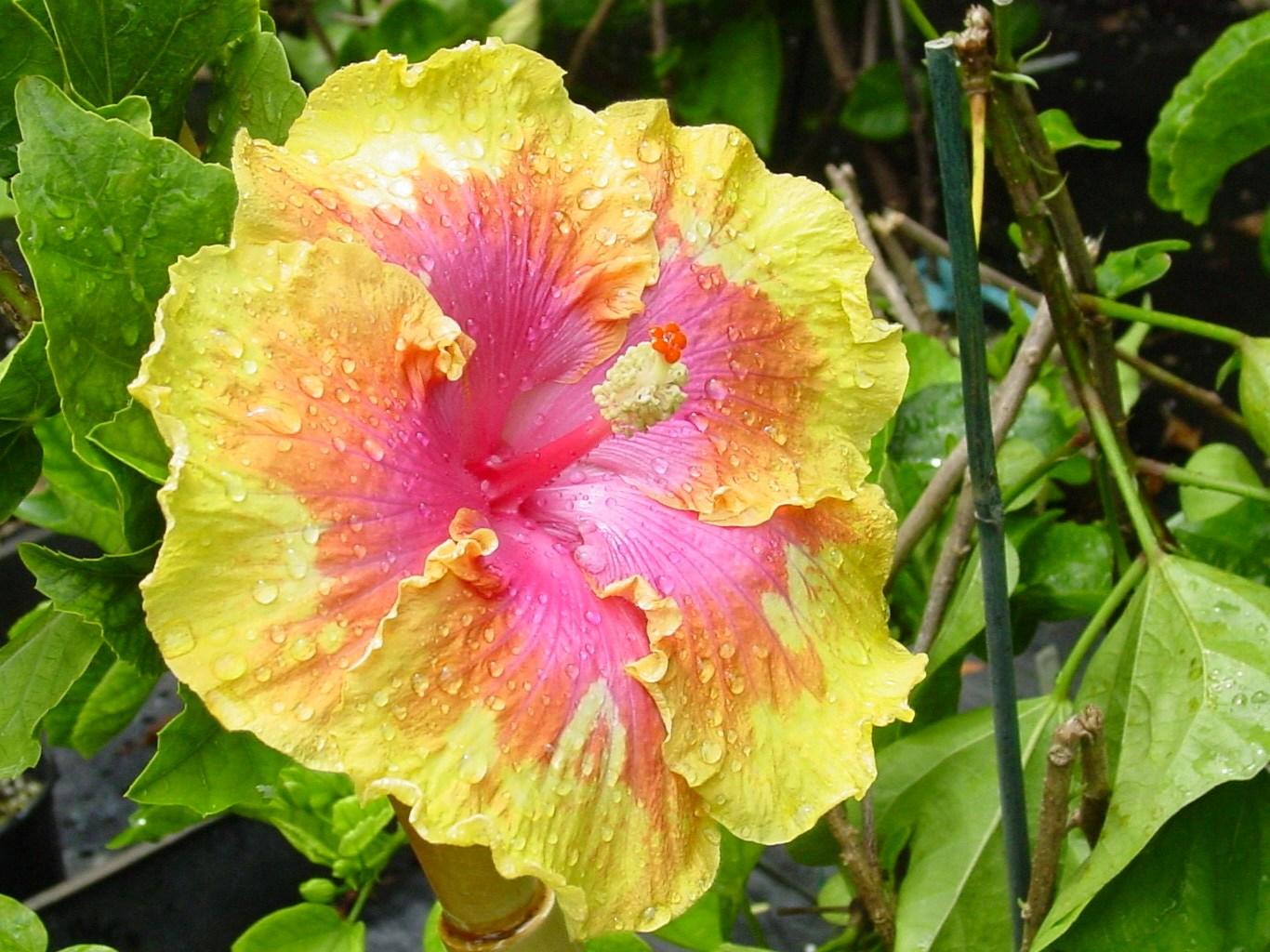Fancy hibiscus tm americas premier hibiscus web site izmirmasajfo