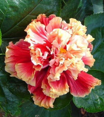 Standing Ovation Hibiscus Double Red With Yellow Edges