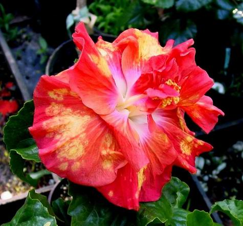 Newest And Largest Tropical Hibiscus Flowers