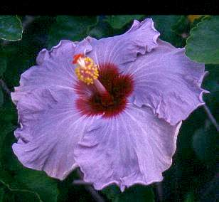Blue Gray Silver And Purple Hibiscus Flowers