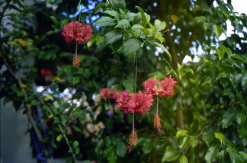 Schizopetalus And Other Rare Hibiscus Species